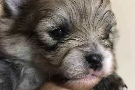 ポメラニアン(coco)の仔犬